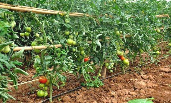Agriculture algérienne - La tomate industrielle à Chlef : surplus de production et manque d'unités de transformation